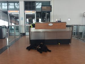 Black service dog laying down in front of airport gate desk